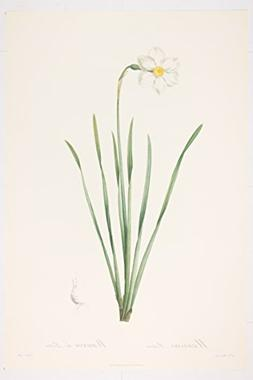 Narcissus Poeticus premium Art Print of Flowers by P J Redou